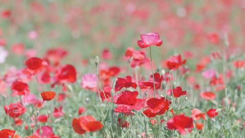 Shirley Poppy Flowers,at Showa Memorial Park,Tokyo,Japan,Filmed in 4K Footage