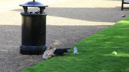 Ravens eating from litter bin Footage