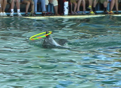 Dolphin with hoop Footage