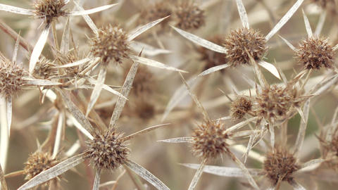Dry flower thistle flower Live Action