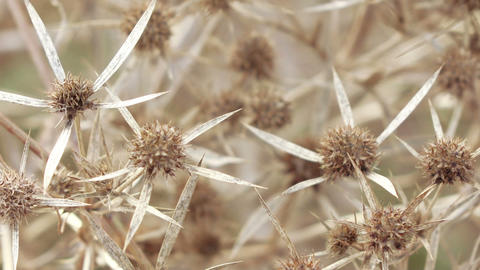 Dry flower thistle flower Stock Video Footage
