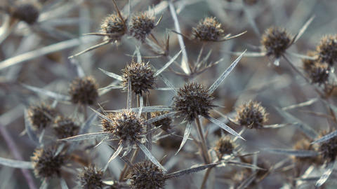 Dry flower thistle flower Footage