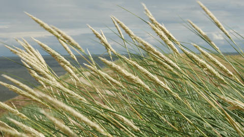 Dunes, Seaside grass with cumulus clouds and blue sky GIF