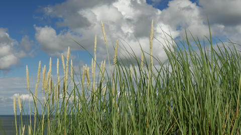 Dunes, Seaside grass with cumulus clouds and blue sky Live Action