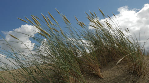Dunes, Seaside grass with cumulus clouds and blue sky Footage