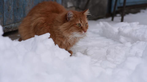 big red fluffy cat sits on the street in the middle of the snow Archivo