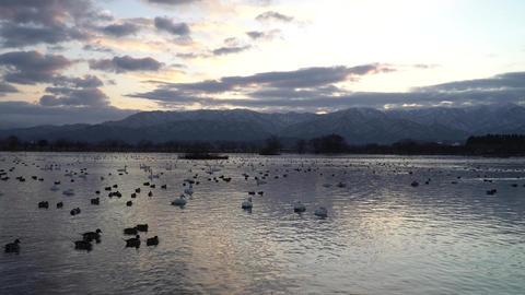 Sunrise and swan Footage