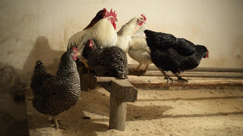 Organic chicken in a chicken house on the roost in the evening Live Action