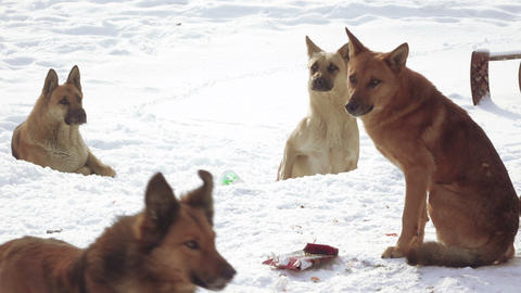 Stray dogs in snow Footage