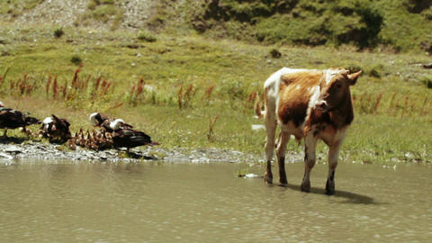 Wild ducks and cows in pond Stock Video Footage