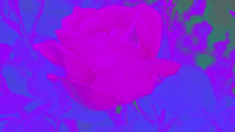 Pink Rose Blooming and Closing Archivo