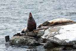 Rookery Steller Sea Lion or Northern Sea Lion. Kamchatka Peninsula フォト