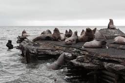 Northern Sea Lion (Eumetopias Jubatus) rookery. Kamchatka Peninsula Fotografía