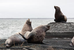 Group Northern Sea Lion on rookery. Kamchatka フォト