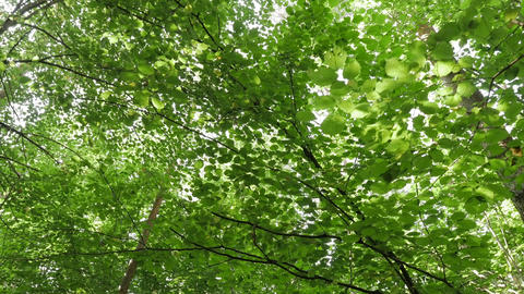 Steadicam POV perspective looking straight up at trees in forest while walking Live Action