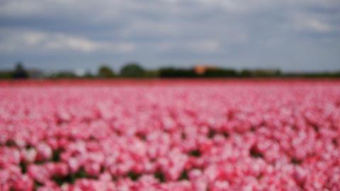 Pink tulips. Defocus long shot Archivo