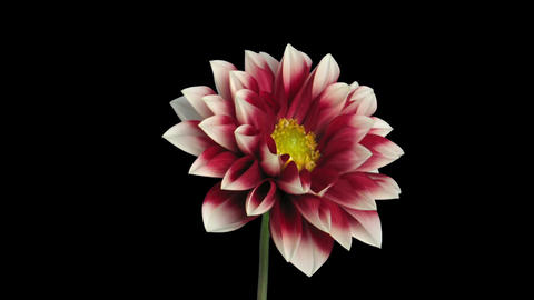 Time-lapse of blooming red-white dahlia in RGB + ALPHA matte format Footage