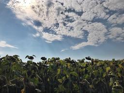 Summer Sunflower Field 9 Fotografía
