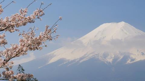 Sakura cherry blossom with Mt. Fuji in spring season Footage