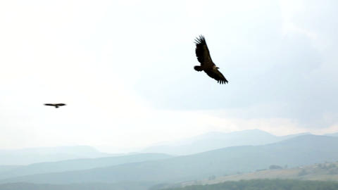 Volture griffons in canyon 영상물