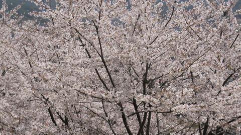 Cherry blossom sakura tree in spring Footage