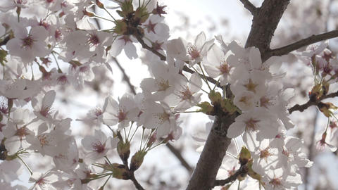 Close up cherry blossom with sunlight Footage