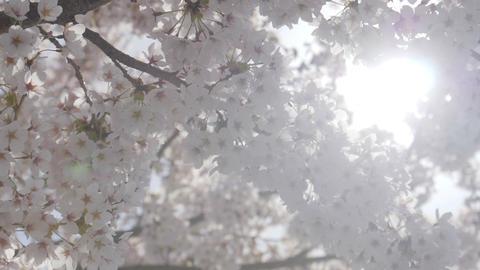 Somei yoshino sakura tree with sunlight in springtime Footage