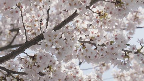 Japanese sakura flower close up Footage