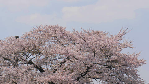 Sakura cherry blossom tree on blue sky Footage