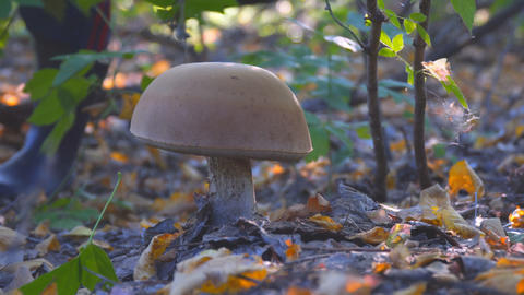 Large white mushroom in the autumn forest 영상물