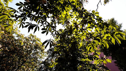 The Sun is shining through the leaves of chestnut Footage