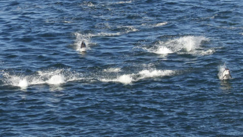 Dolphin actually Porpoise group swimming and jumping breaching in Alaska 영상물