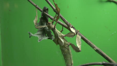 Walking stick insect eating leaf, extreme close up, magnification Footage