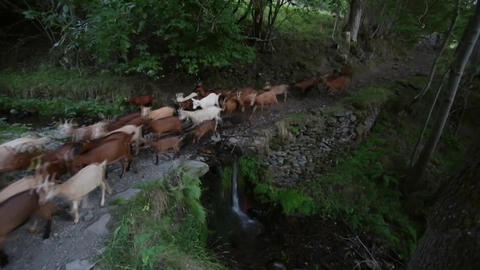 Herd of goats crossing a river with a small waterfall.Time Lapse Archivo