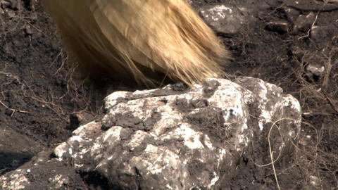 Archaeologist cleans a white stone with a matrix of the archaeological site 02 Footage