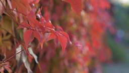Red Autumnal Plant Leaves Footage