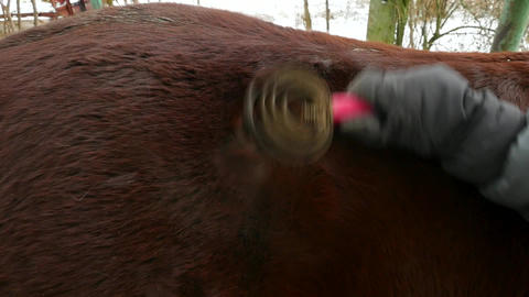 Person brushing muddy horse fur. Grooming of animal after ride. Rural farm GIF