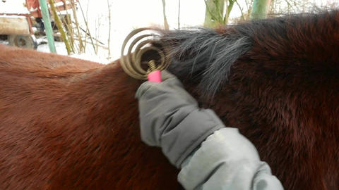 Hand in gloves use wires scraper to brush horse muddy back.Person taking care of Live Action