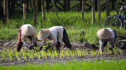 Farmers are planting rice Archivo