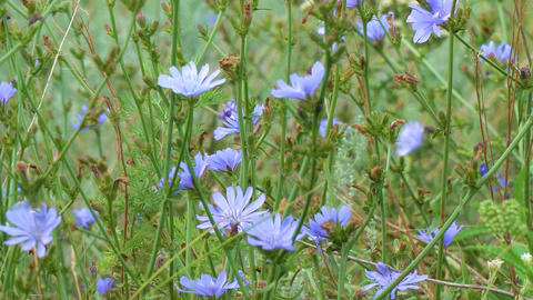 Blue flowers on natural background. Flowers of wild chicory endive Footage