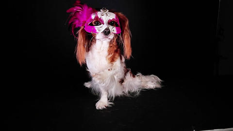 Cute dog wearing carnival party mask. Festival puppy animals pets animal pet Live Action