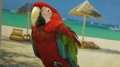 Red Parrot ARA Footage