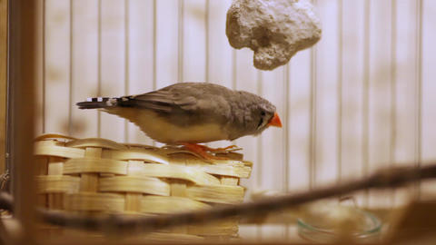 Amadin in a cage on banket Footage