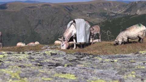 Donkey leading a tarp in the back eating grass with her flock somewhere on a pla Footage