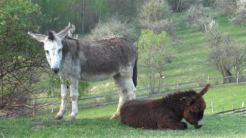 Donkeys with brown and gray fur sitting on the field and scratching the earth co Footage