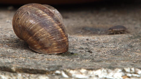 Insect with many legs pass a snail shell located on a brown stone 01 Footage