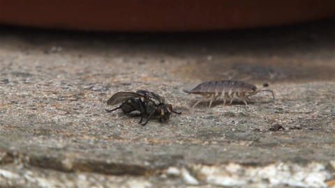 Insect with many legs passing near a dead fly located on a brown stone 02 Footage