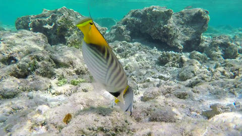 Two Threadfin Butterflyfishes Footage