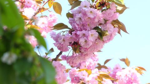 Sacura Blossom Inflorescence Footage