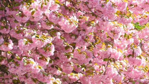 Sacura Japanese Cherry Blossom Footage